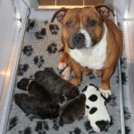 Engelse Staffords pups van Ozzle's Family