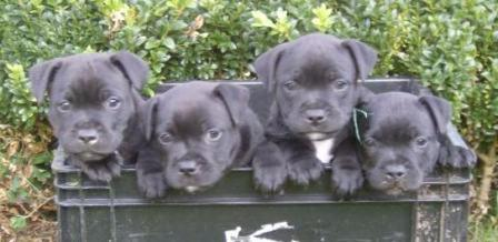 Fonkelnieuw Pups – Staffordshire Bull Terrier Kennel PL-22