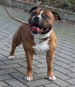 Hunky Staffordshire Bull Terrier of Ozzle's Family Kennel