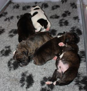 Pups R-Nest Ozzles Family Staffordshire Bull Terrier kennel