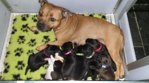 Ozzles Family Staffordshire Bull Terriers fokker Engelse Staffords