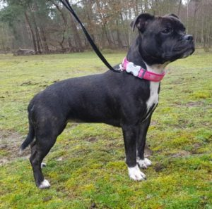 Staffordshire Bull Terrier Luna van Ozzles Family een kennel van Engelse Staffords